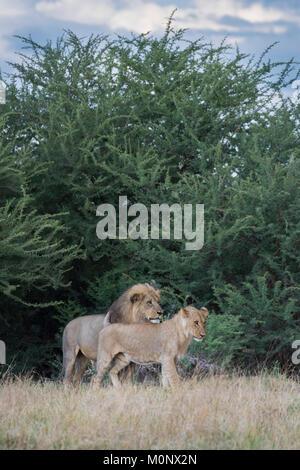 Adult and adolescent male Lion (Panthera leo),Savuti,Chobe National Park,Chobe District,Botswana - Stock Photo
