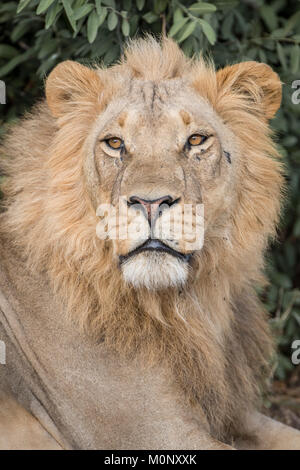 Lion (Panthera leo),male,portrait,Savuti,Chobe National Park,Chobe District,Botswana - Stock Photo