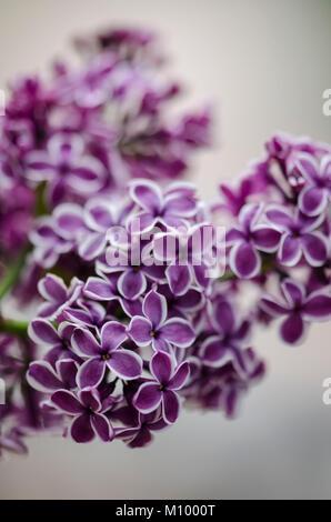 Syringa vulgaris 'Sensation' - Edelflieder - Stock Photo