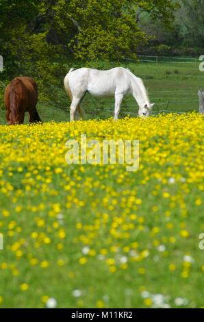 White and Brown Horse's Grazing in a Lush Meadow, Stile Farm, South Devon, UK. Spring, 2015. - Stock Photo