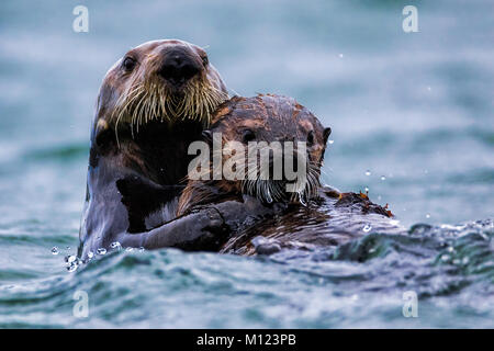 Otters Playing - Stock Photo