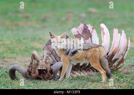 Black-backed Jackal (Canis mesomelas) at the carcass of a Cape Buffalo (Syncerus caffer caffer), Addo Elephant National - Stock Photo