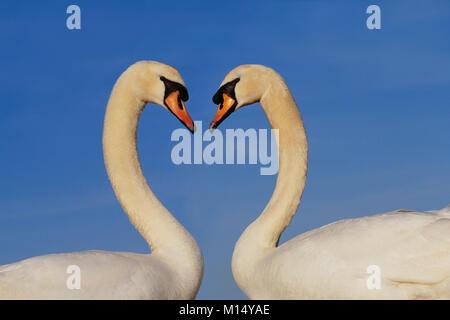 The Netherlands. 's-Graveland. Mute swans (Cygnus olor). Courtship behaviour. - Stock Photo