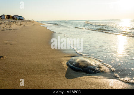 Especially in the mornings on the coast of Odessa you can see a lot of jellyfish, which flow thrown into the sea - Stock Photo