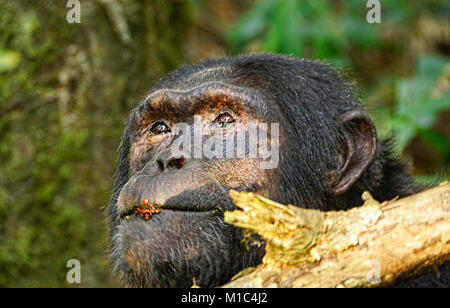 Profile of Chimpanzee  with seeds on his lips in forest of Kibale National Park. - Stock Photo