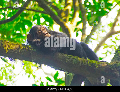 Young chimpanzee relaxing in tree in forest of Kibale National Park, Uganda. - Stock Photo