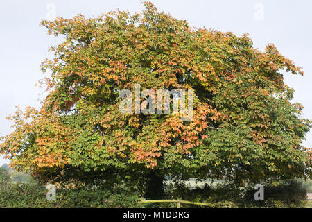 Aesculus hippocastanum. Horse chestnut in the English countryside in Autumn. - Stock Photo