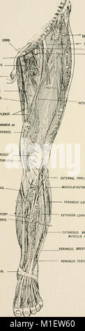 Anatomy in a nutshell - a treatise on human anatomy in its relation to osteopathy (1905) (18195501541) - Stock Photo