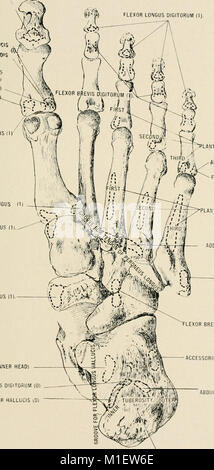 Anatomy in a nutshell - a treatise on human anatomy in its relation to osteopathy (1905) (18190677292) - Stock Photo