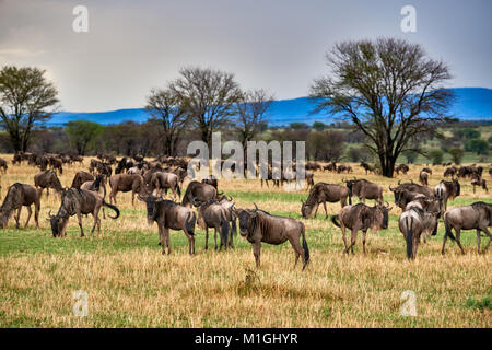 landscape in Serengeti National Park with blue wilderbeests, UNESCO world heritage site, Tanzania, Africa - Stock Photo
