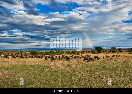 rainbow and wildebeest, landscape in Serengeti National Park, UNESCO world heritage site, Tanzania, Africa - Stock Photo