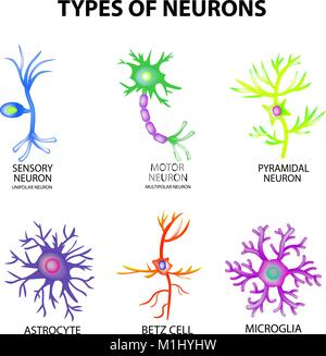 Types of neurons. Structure sensory, motor neuron, astrocyte, pyromidal, Betz cell, microglia. Set. Infographics - Stock Photo