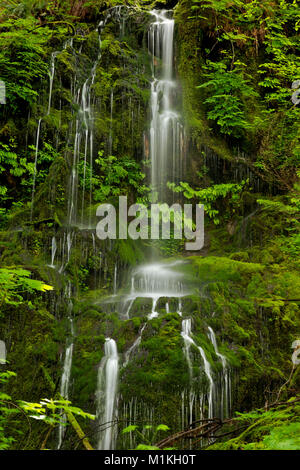 WA13164-00...WASHINGTON - A delicate cascade on a hillside along the Graves Creek Road in Olympic National Park. - Stock Photo
