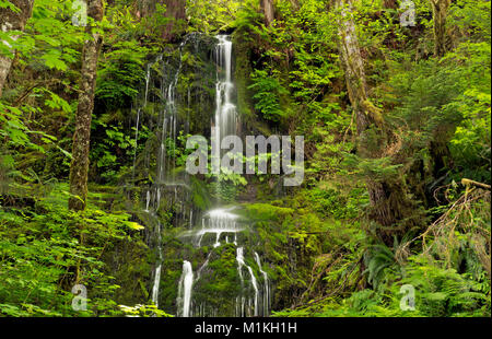 WA13165-00...WASHINGTON - A delicate cascade on a hillside along the Graves Creek Road in Olympic National Park. - Stock Photo