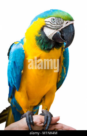 One bright colored parrot sits on the shoulder close up. - Stock Photo