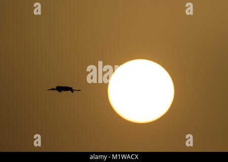 Black Stork (Ciconia nigra) flying in front of the newly rised sun - Stock Photo