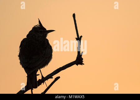 Crested Lark (Galerida cristata) - Stock Photo