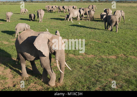 Unusual high shot of African Elephants (Loxodonta africana) grazing on the savannah. Amboseli. Kenya. - Stock Photo