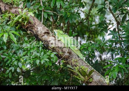 Plumed basilisk (Basiliscus plumifrons), also known as green basilisk, double crested basilisk, or Jesus Christ - Stock Photo