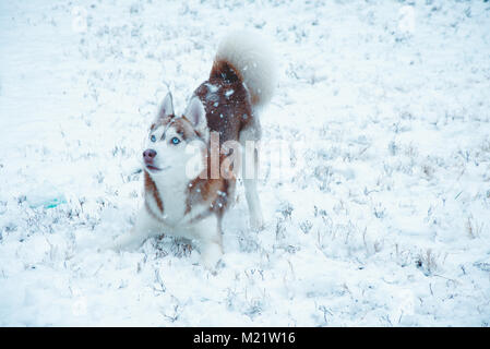 A picture of a Siberian husky puppy playing in the snow on his first snow day - Stock Photo