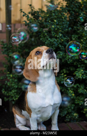 A girl Beagle dog in front of a bush surrounded by and watching bubbles - Stock Photo