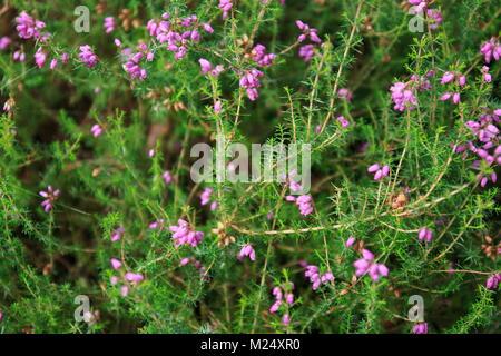 Irische Heide mit kleinen pink violett farbenden Glöckchen Blüten - Stock Photo
