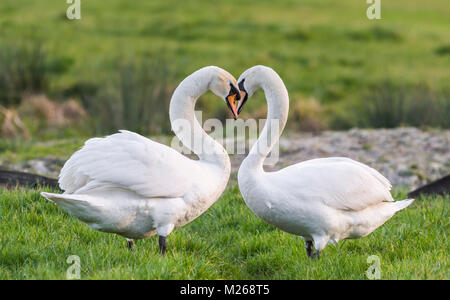 Pair of White Mute Swans (Cygnus olor) standing facing each other in a field with necks making the shape of a love - Stock Photo