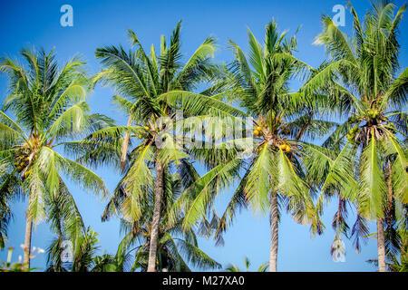 Tropical coconut palms against blue sky - Stock Photo