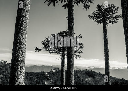 Black and white photo of monkey puzzle (araucaria) trees in Patagonia, Chile - Stock Photo