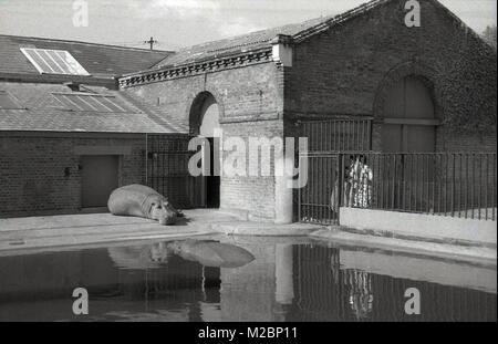 Historical picture of London Zoo, 1940s, showing the hippos in their enclosure, with one resting or lounging outside - Stock Photo