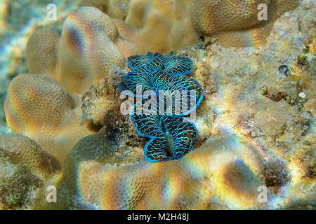 A blue mollusk maxima clam, Tridacna maxima, underwater in the Pacific ocean, Rarotonga, Cook islands - Stock Photo