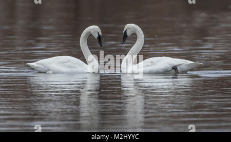 Trumpeter swans in love - Stock Photo