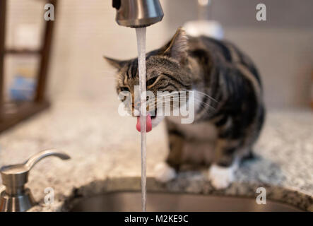 cat drinking water from kitchen faucet - Stock Photo