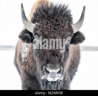 Plains Bison, (Bison bison bison) or American Buffalo, in winter, Riding Mountain National Park, Manitoba, Canada. - Stock Photo