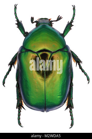 Beetle Protaetia aeruginosa from family Scarabaeidae. Isolated on a white background - Stock Photo