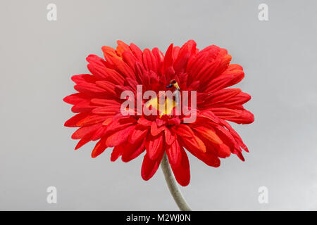 Miniature gardener watering flowers with a watering can in the center of a bright red Gerbera daisy in a close up - Stock Photo