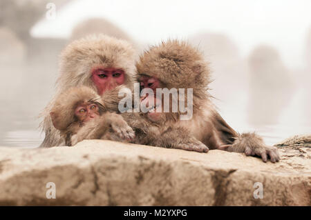 Japanese macaque or snow japanese monkey (Macaca fuscata) family in onsen, Japan - Stock Photo
