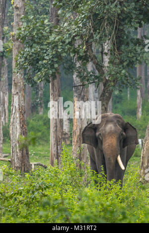 Coorg, India - October 29, 2013: Dubare Elephant Camp. Single tusk male elephant stands in the green jungle. - Stock Photo