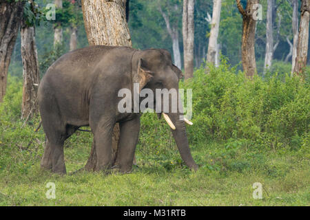 Coorg, India - October 29, 2013: Dubare Elephant Camp. Closeup of Young chained male elephant stands in the green - Stock Photo