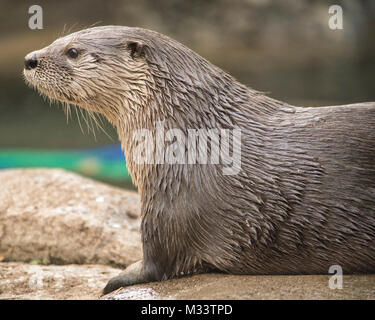 Cute otter isolated with plenty of room for copy. - Stock Photo