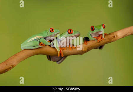 a trio of red eyed tree frogs on a branch, looking at the camera - Stock Photo