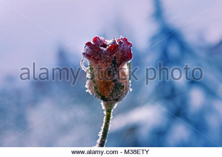 Frozen Rose Macro Flower Winter Season - Stock Photo