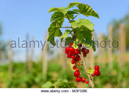 Redcurrants in a garden with sky in background - Stock Photo