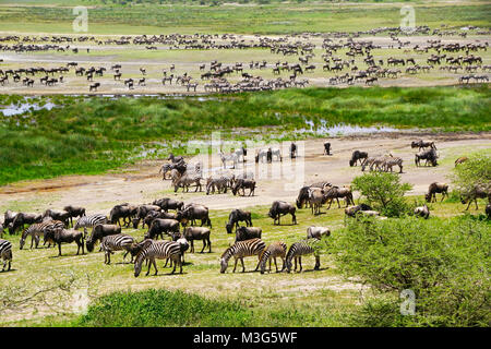 Herd of wildebeest and zebras gathering for great migration on Serengeti Plains of Tanzania. - Stock Photo