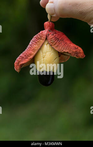 Ackee pod food still-life photograph, St. Thomas, Jamaica, West Indies, Caribbean - Stock Photo