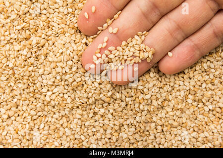 Sesamum indicum is scientific name of Sesame. Also known as Gergelim (portuguese) and Sesamo (spanish). Person with - Stock Photo