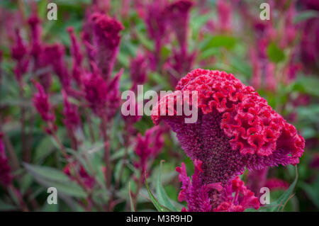Red Chinese Wool Flower close up garden background outdoor, Celosia argentea L. var. cristata (L.) Kuntze - Stock Photo