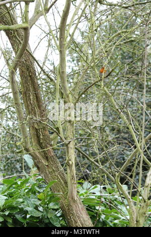 European Robin ( Erithacus rubecula ) sitting on a tree branch. - Stock Photo