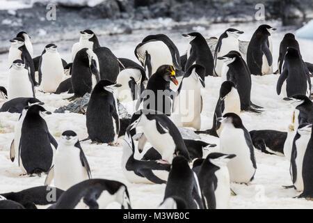 Lone Macaroni Penguin on rookery with Chinstrap Penguins; Pygoscelis antarcticus; ringed penguin; bearded penguin; - Stock Photo