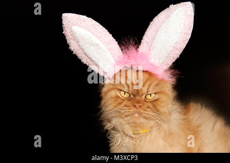 Close up portrait of orange Persian cat with bunny ears - Stock Photo